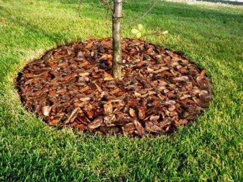 Мульчирование корой молодого деревца вишни