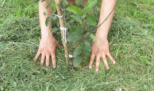 Мульчирование саженца вишни свежескошенной травой сразу после посадки