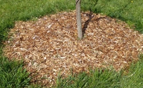 Кора на поверхности приствольного круга вишневого деревца