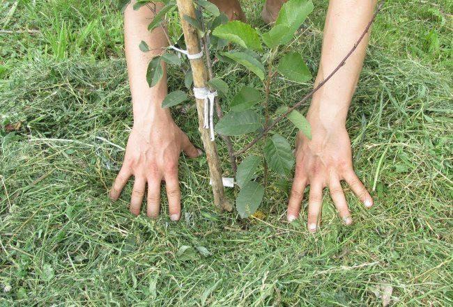 Мульчирование приствольного круга вишни свежескошенной травой