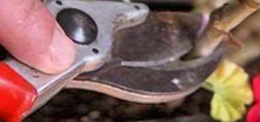 Обрезка герани острым секатором вблизи