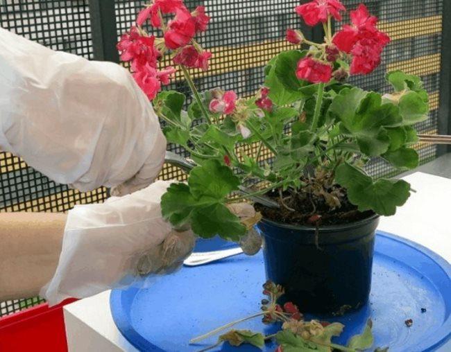 Обрезка ножницами сухих цветков на кустике герани комнатной