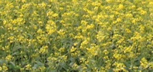 Огромное поле засеянное горчицей