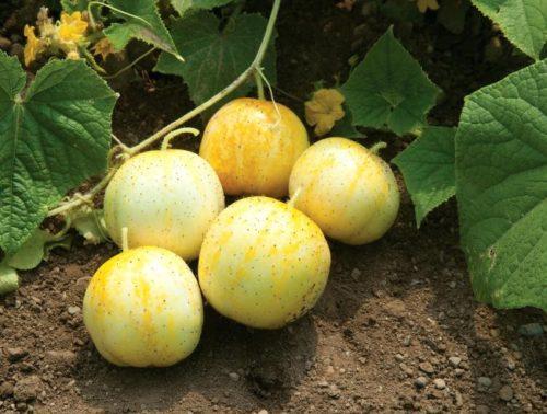 Спелые огурцы-лимоны желтого цвета на огородной грядке