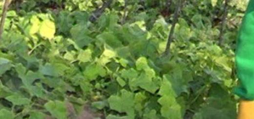Опрыскивание огурцов настойкой против вредителей из пульверизатора