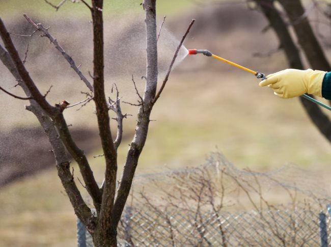 Ранняя весенняя обработка вишни и других плодовых деревьев медным купоросом
