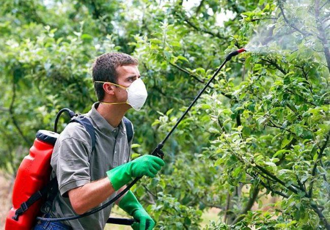 Летняя обработка вишни и других плодовых деревьев от тли