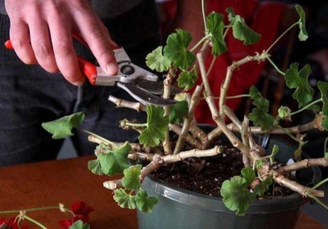 Обрезка стеблей домашней гортензии садовым секатором в осенний период