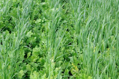 Соместное выращивание масличной редьки и овса в качестве сидератов