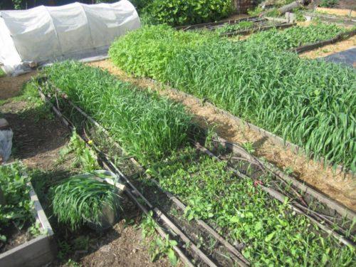 Выращивание овса на даче на грядке для томатов