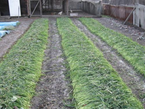 Укрытие садовой клубники на зиму скошенным овсом