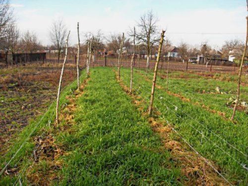 Осенняя посадка овса в междурядьях на винограднике