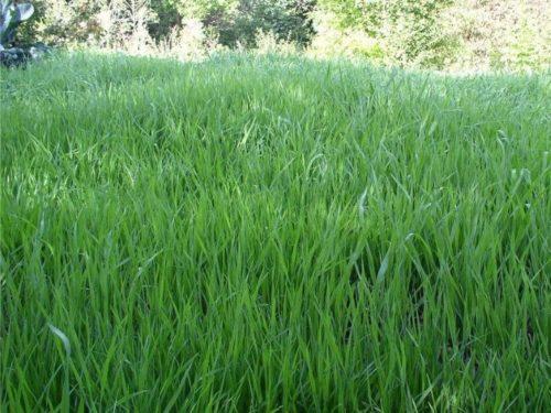 Зеленые стебли озимого овса на участке с повышенной кислотностью почвы