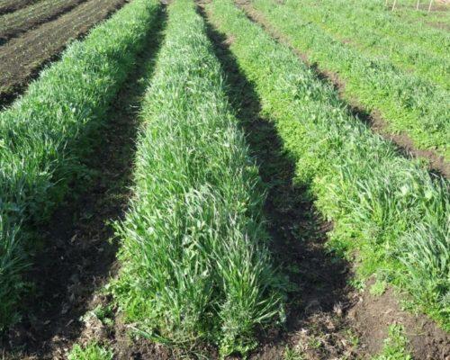 Картофельное поле с длинными рядами овса