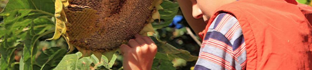Мальчик снимает семена подсолнуха с шапки