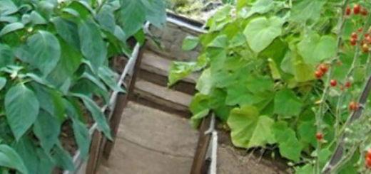 Совместная посадка через рядом перца и помидор в теплице