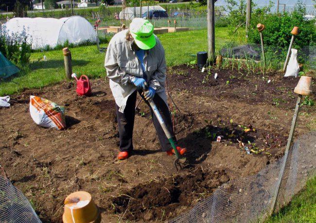 Перекопка грядки на даче для весеннего посева укропа семенами