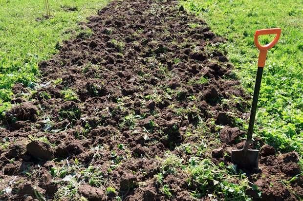 Перекопка почвы дачного участка перед весенней высадкой овса на сидераты