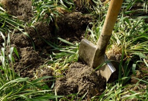 Заделка зеленой массы овса в почву перекопкой с помощью лопаты