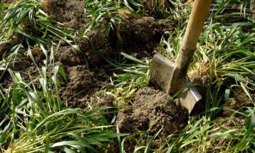 Летняя перекопка овса для улучшения структуры почвы на садовом участке