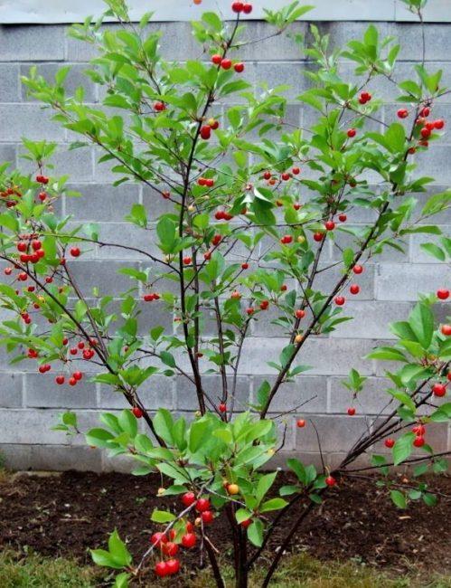 Молодой кустик вишни с первыми ягодами на фоне забора из блоков