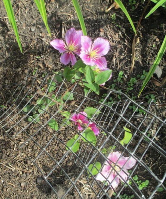 Мелкие цветки на клематисе в первый год после посадки