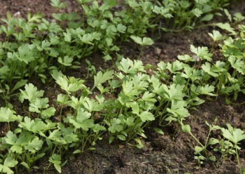 Молодые кустики салатной петрушки на грядке садового участка