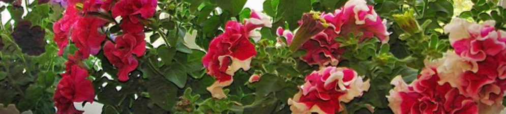 Петунья в горшке растёт на балконе несколько горшков с цветами