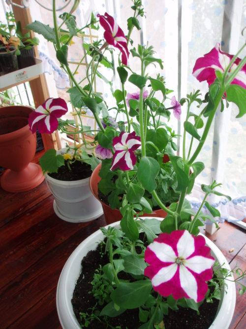 Белый горшок с цветущей петунией в домашних условиях