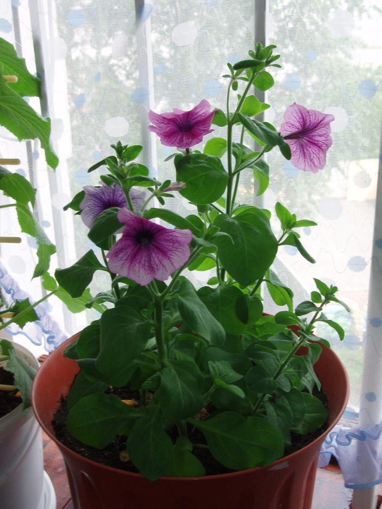можно ли выращивать петунию круглый год