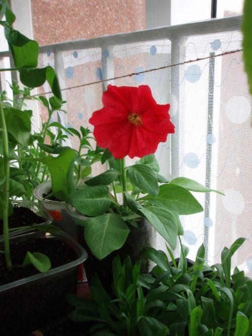 Кустик петунии с красным цветком на подоконнике