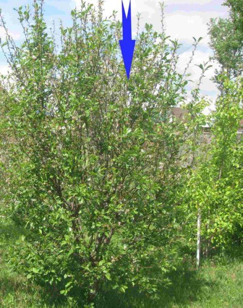 Взрослое деревце вишни сорта Уйфехертои Фюртош с кроной пирамидальной формы