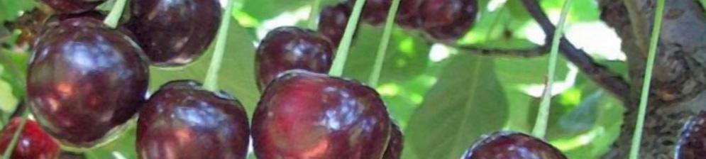 Плоды вишни сорта ширпотреб черная вблизи на ветке спелые