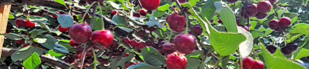 Плоды сорта Краса Татарии на вишне созревают