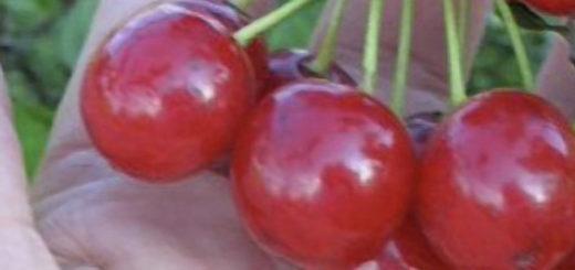 Плоды вишни субботинская вблизи рядом с ладонью человека