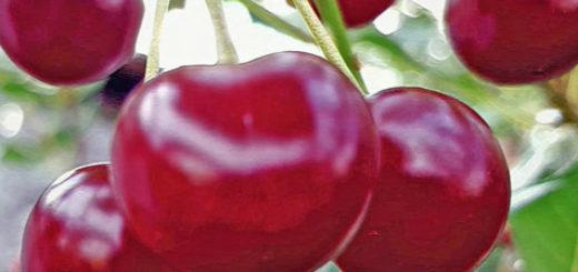 Плоды сорта вишни Свердловчанка вблизи