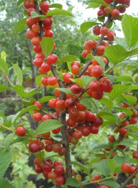 Первые плоды на вертикальных ветках войлочной вишни при удачном опылении
