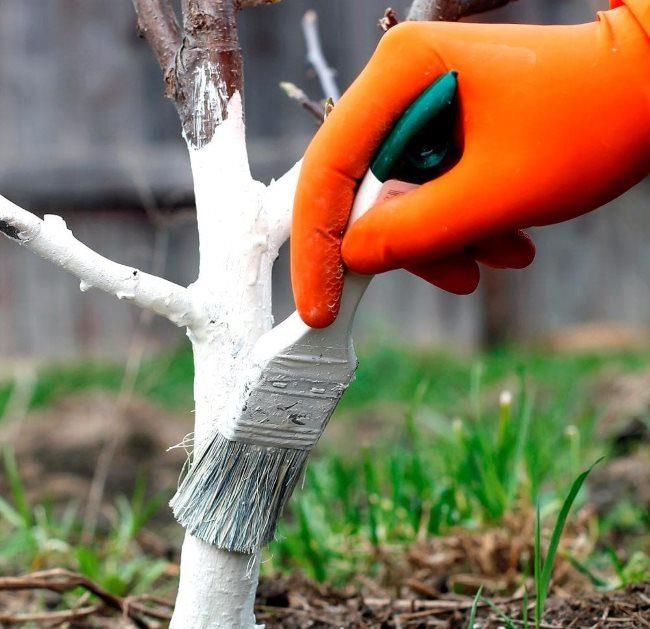 Весенняя побелка ствола вишни малярной кисточкой среднего размера