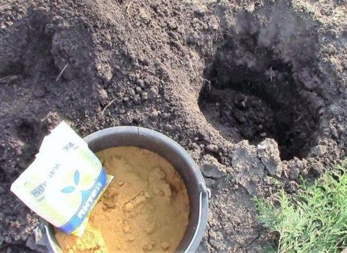 Подготовка питательного грунта для летней посадки туи западной