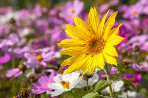 Красивый цветок подсолнуха декоративного сорта Helianthus decapetalus