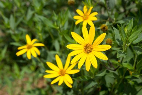 Желтый цветок с редкими лепестками на подсолнухе клубненосного сорта