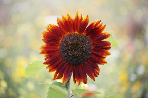Красно-коричневый цветок декоративного подсолнечника сорта Красно солнышко