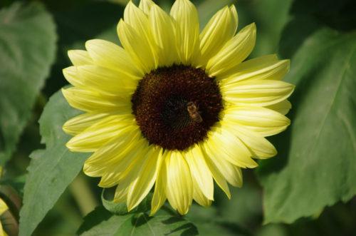 Светло-желтые лепестки на цветке подсолнечника сорта Vanilla Ice