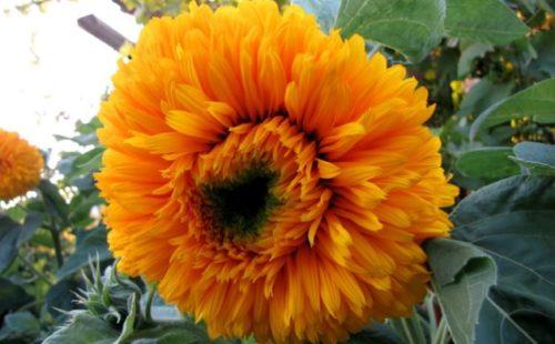 Цветок декоративного подсолнуха сорта Дачник