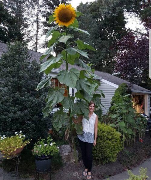 Фото гигантского декоративного подсолнуха вместе с хозяйкой дачи