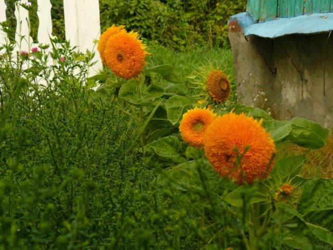 Желто-оранжевые цветы на подсолнухах в палисаднике загородного дома