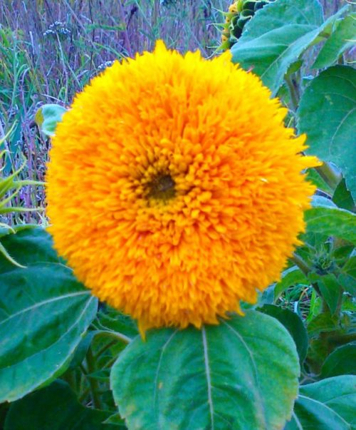 Ярко-желтый цветок подсолнечника Медвежонок
