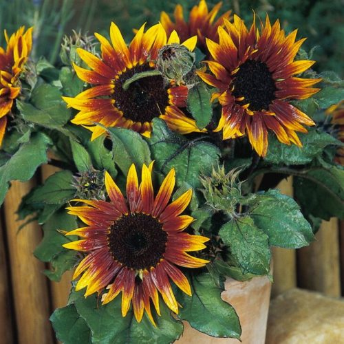 Желто-коричневая окраска цветка подсолнечника сорта Пакито колорадо