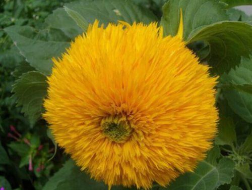 МАхровый цветок подсолнечника сорта Плюшевый мишка