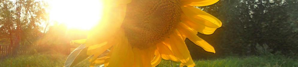 Шапка подсолнуха под сибирским солнцем